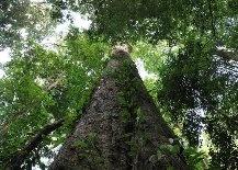 Самое высокое дерево в Африке нашли на горе Килиманджаро