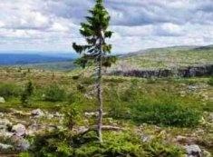 Самое старое в мире дерево возрастом 9,5 тысяч лет растет в Швеции