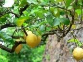 В Узбекистане планируют создать лимонные и ореховые плантации