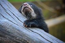 Очковый медведь был зафиксирован фотоловушками в Перу